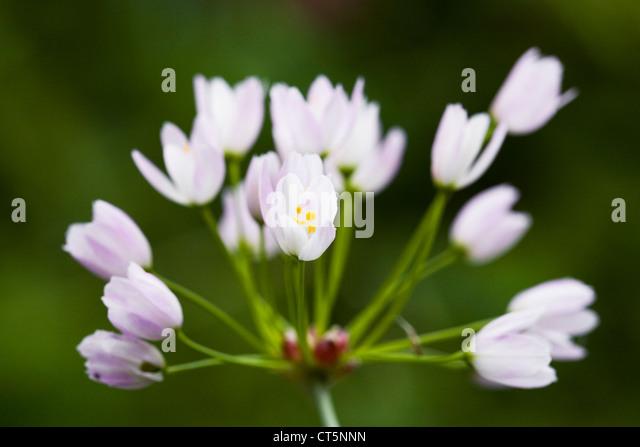 Allium roseum in an English garden. Rosy flowered garlic. - Stock Image