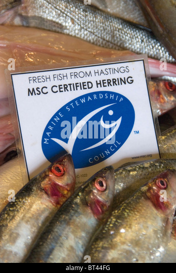 Fresh Hastings fish Marine Stewardship Council certified sustainable herring on sale at Rock-a-Nore Fisheries The - Stock Image