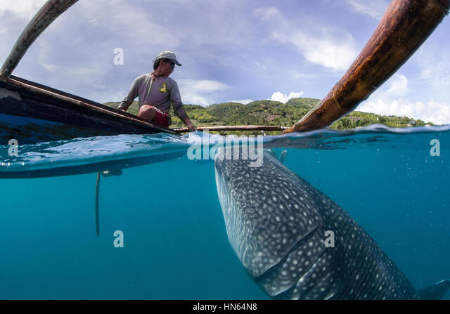Whale shark encounter with local fisherman at village of Oslob, on the island of Cebu, Philippines. - Stock-Bilder