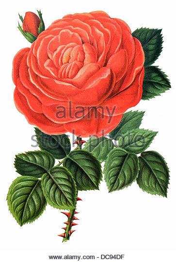 Rose - Stock-Bilder