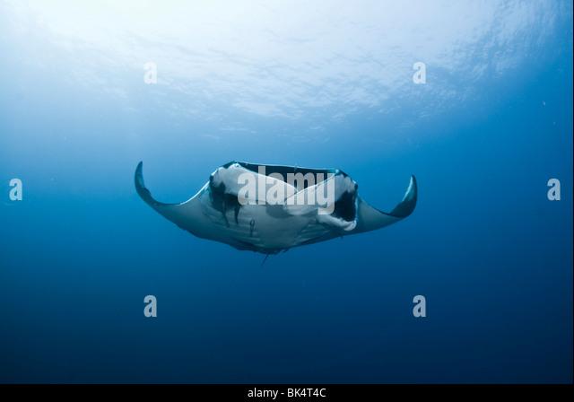 Manta ray, Mergui Archipelago, Burma, Andaman Sea, Indian Ocean - Stock-Bilder