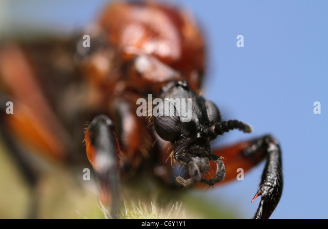 Female of a March Fly, Bibionidae - Stock Image