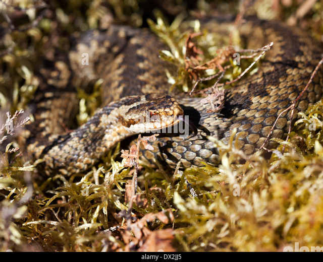 Male Adder Vipera berus Sensing with Tongue North Pennines County Durham UK - Stock Image