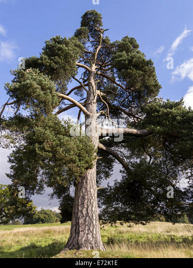 Pinus sylvestris stock photos pinus sylvestris stock for Mature pine trees