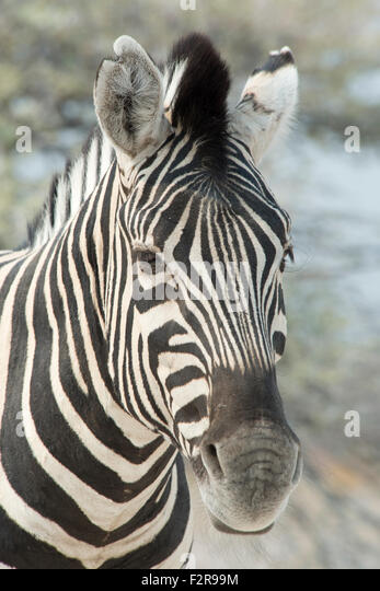 Plains zebra (Equus burchelli), portrait, Etosha National Park, Namibia - Stock Image