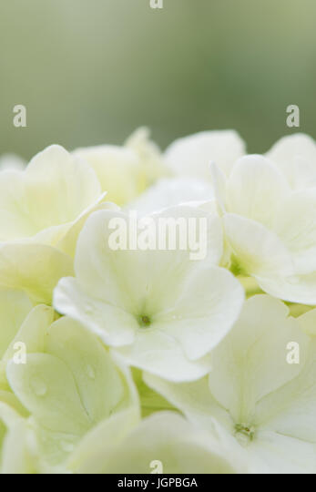 White Bloom of Chinese Snowball - Stock Image