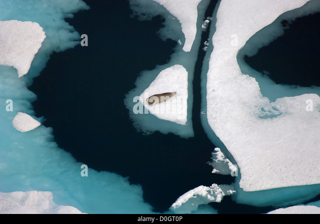 Bearded Seal Resting on Multi-Layer Pack Ice in the Chukchi Sea - Stock Image