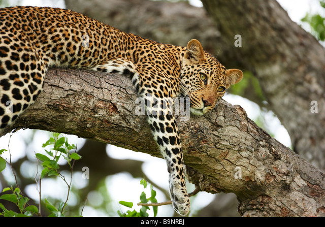 leopard resting in a tree, Kruger National Park, South Africa - Stock-Bilder
