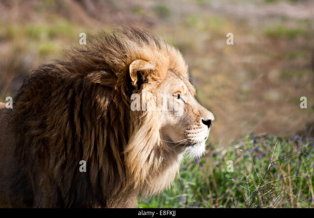Limpopo, Eastern Cape, South Africa Lion - Stock Image