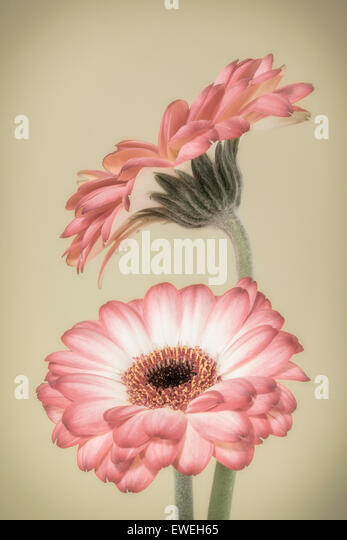 Two pink and white Gerberas - Stock Image