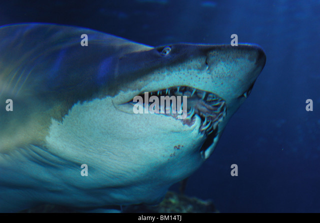 Sand tiger shark, Carcharias taurus, captive - Stock Image