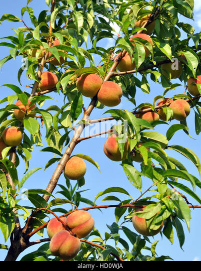 how to grow a peach tree from a branch