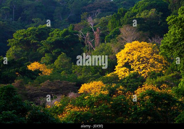 Flowering Gold Trees (Guayacan), sci.name; Tabebuia guayacan, near Gamboa in Soberania national park, Republic of - Stock-Bilder