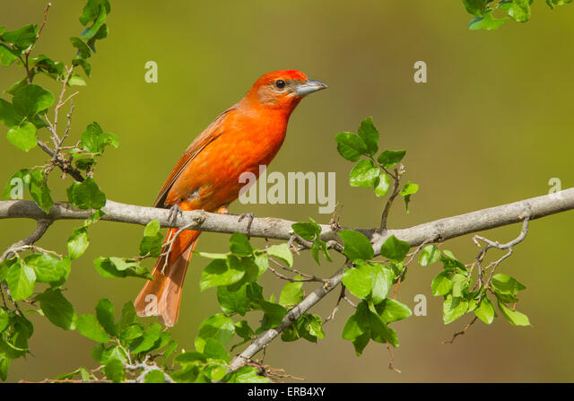 Hepatic Tanager  Piranga flava Santa Rita Mountains, Santa Cruz County, Arizona, United States 14 May    Adult Male - Stock Image