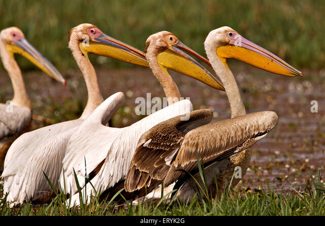 White pelican pelecanus onocrotalus eastern great white pelican Keola Deo Ghana national park Bharatpur - Stock Image