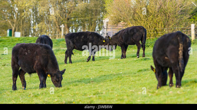 A pair of cows in a field butting heads. Angry concept, arguing concept, combat concept. - Stock Image