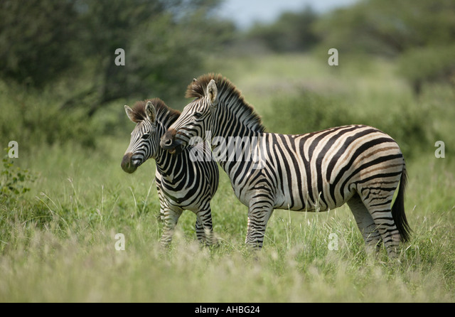 two Zebras - Stock Image