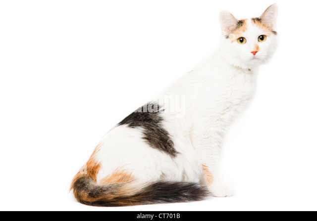 Calico colored kitten - Stock Image
