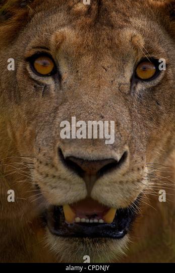 African Lion  Panthera leo  in Mikumi Game reserve . Southern Tanzania. - Stock-Bilder