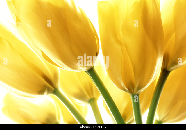 Yellow tulips isolated on white background - Stock Image