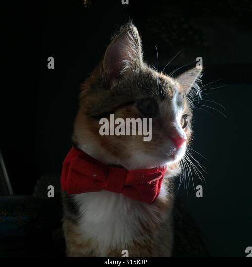 A cat wearing a bowtie in dramatic light. - Stock-Bilder