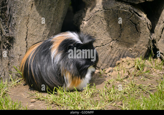 Closeup of black, brown and white shaggy guinea pig (Cavia porcellus) - Stock Image
