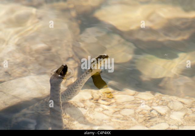 Dice Snake in Lake Prespa at the shores of Maligrad Island in Albania.   Würfelnatter im Prespasaee am Ufer - Stock Image