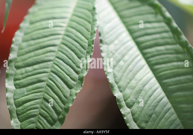 Florida, tropical plant, flora, growing, life, leaf, green, - Stock Image