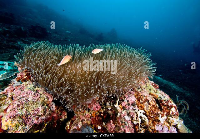 Anemone reef scene at Nalusuan Marine Sanctuary, Cebu, Philippines, Southeast Asia, Asia - Stock Image