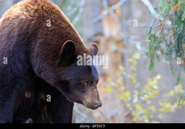 American Black Bear (Ursus americanus). Adult cinnamon bear in forest. - Stock Image