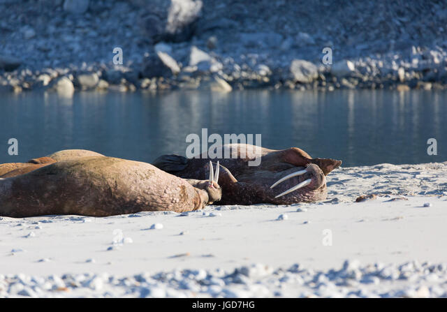 Two walrus relax on a sandy beach near the glacier at Magdalenefjorden in Spitzbergen - Stock Image