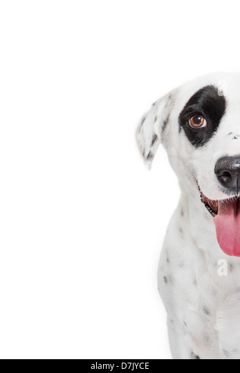 Closeup of dalmatian dog looking to camera with large black spot over eye. - Stock Image