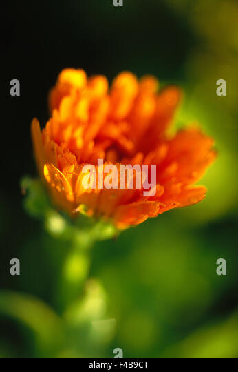 catalogue 2 close-up color image detail flower orange colour plants simplicity single object summer Swedish catalogue - Stock-Bilder