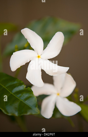 Close up high angle view of tropical white plumeria flowers - Stock Image