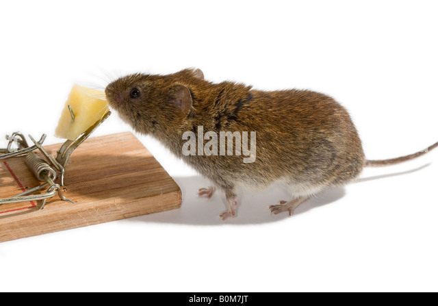 Vole about to take the cheese bait on a mousetrap - Stock Image