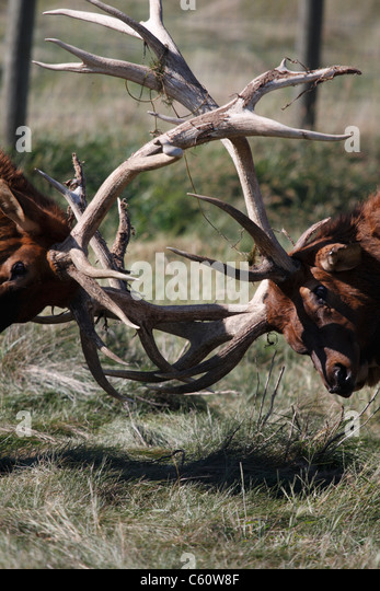 Two male elk with antlers interlocked. Some velvet remains on antlers. - Stock Image