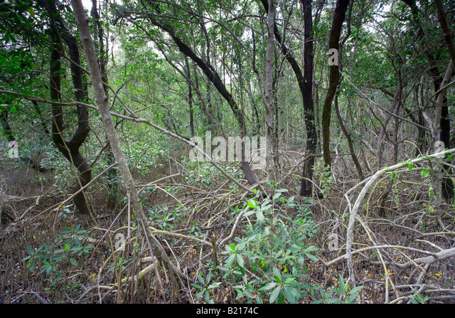 dense forest in Everglades National Park, Florida, USA - Stock Image