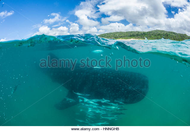 A whale shark swims in the Indian Ocean in the Ponta Do Oro Marine Reserve, Mozambique. - Stock Image