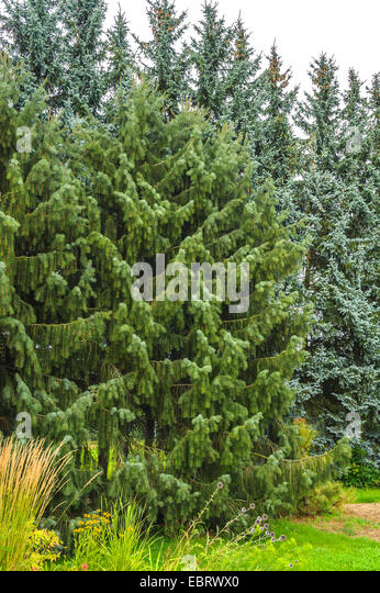 Brewer spruce, Brewer's Weeping  (Picea breweriana), Germany, Saxony - Stock Image