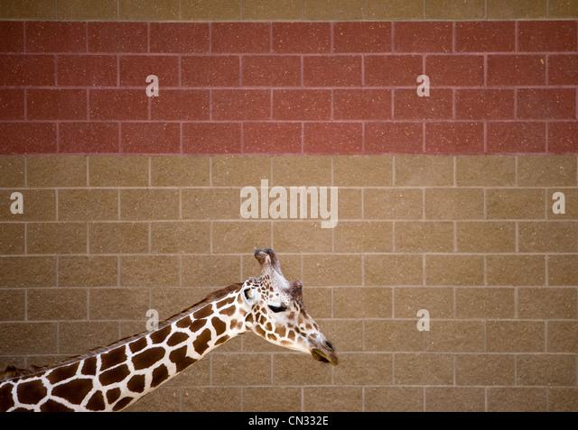 Giraffe by a wall - Stock Image