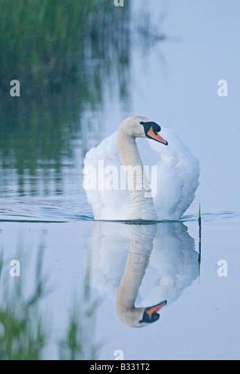 Mute Swan Cygnus olor male cob Cley Norfolk April - Stock-Bilder