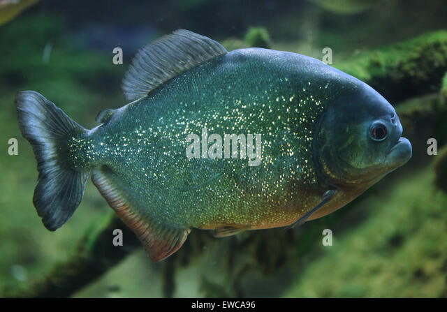 Characiformes Stock Photos & Characiformes Stock Images ...