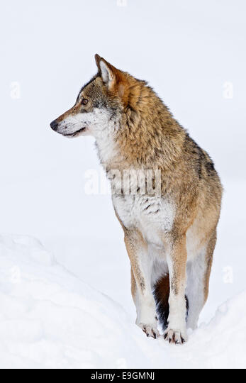 Captive Grey Wolf (Canis lupus) constantly alert and engaged with its surroundings - Stock Image
