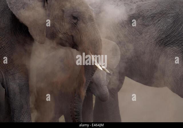 African elephants (Loxodonta africana) dust bathing, Masai Mara National Reserve, Kenya, August. - Stock-Bilder
