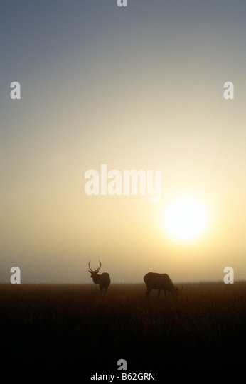 WILD BULL ELK (WAPITI) ON RECLAIMED STRIP COAL MINE, WINSLOW HILL NEAR BENEZETTE, ELK COUNTY, PENNSYLVANIA, USA - Stock Image