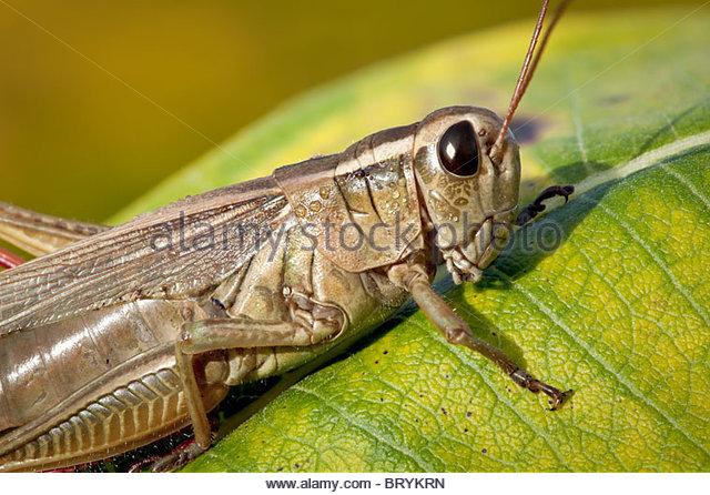 a-grasshopper-on-a-milkweed-leaf-in-roug