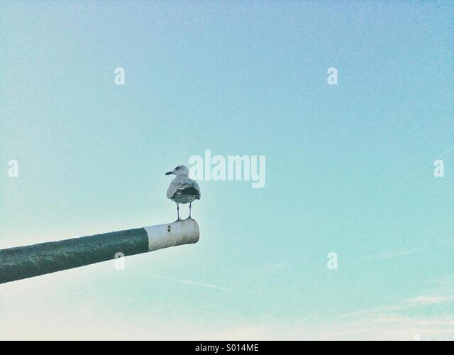 Gull standing on the end of an old gun barrel at UK seaside town. - Stock Image