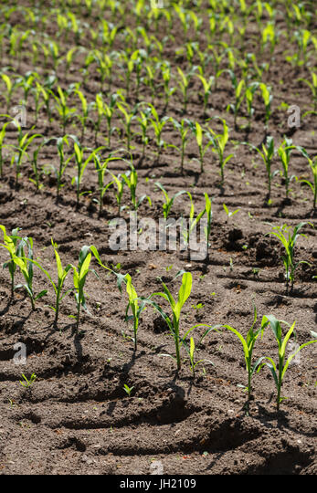 Young Corn or Maize plants growing in parallel rows in a cultivated agricultural field. - Stock Image