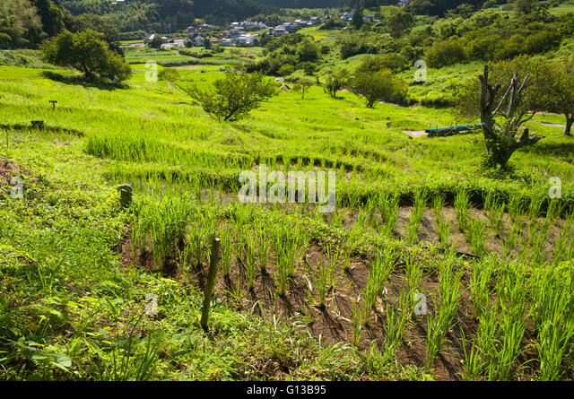 Terrace rice fields in Kikugawa, Japan - Stock Image