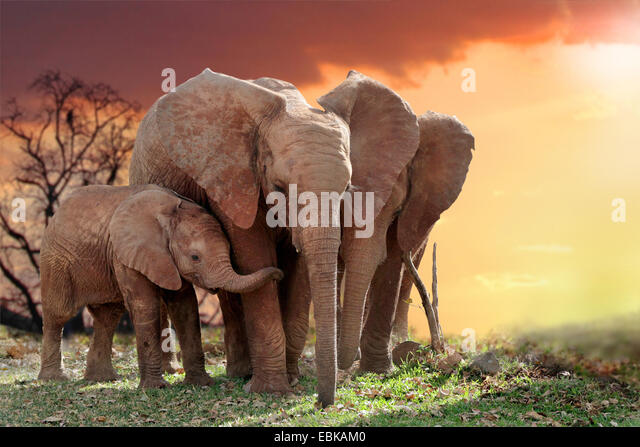 African elephant (Loxodonta africana), elephants with young animal in sunset, Kenya, Amboseli National Park - Stock Image